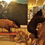 自然保護センター 展示剥製